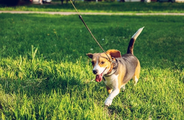 Happy dog on leash running through grass
